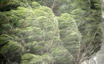 wind-storm-pine-tree_645x400